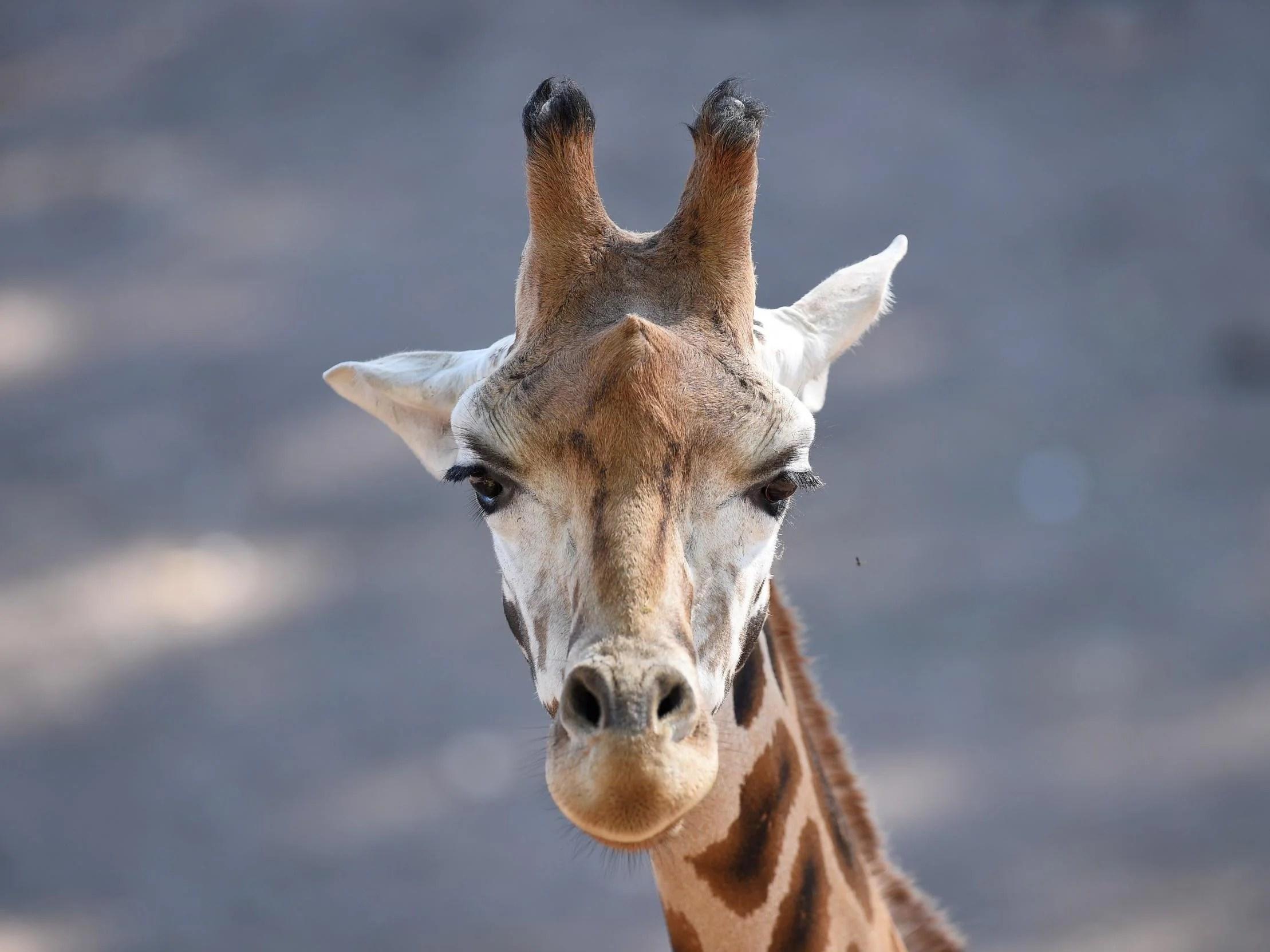 giraffes considered for endangered