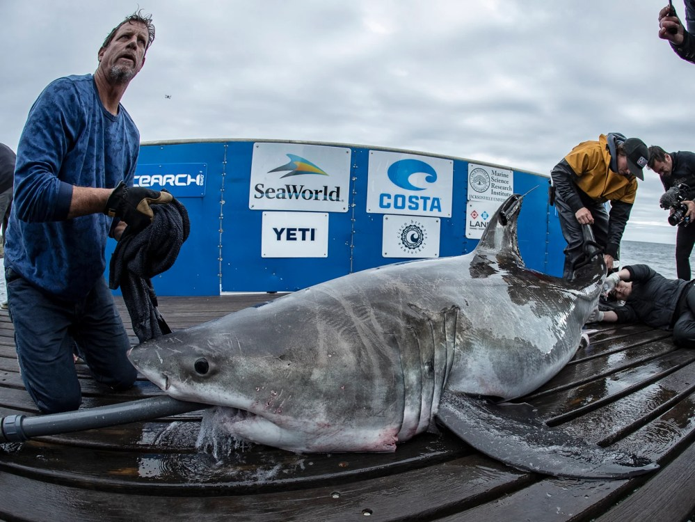 medium resolution of great white shark spotted in long island sound in rare sighting the independent