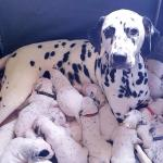 Dalmatian Gives Birth To 18 Puppies Following 14 Hour Labour The Independent The Independent