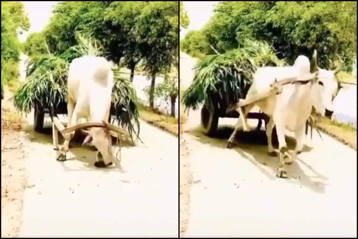 'Aatmanirbhar' Bull Leaves Twitter Mesmerised After Pulling Cart Without Directions From Owner | WATCH | India.com