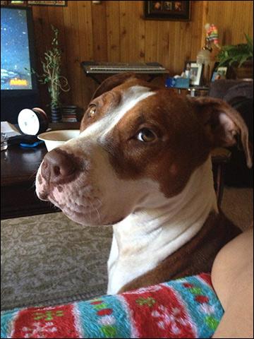 "Pit bull dog, ""Cali"" / Image: Facebook"