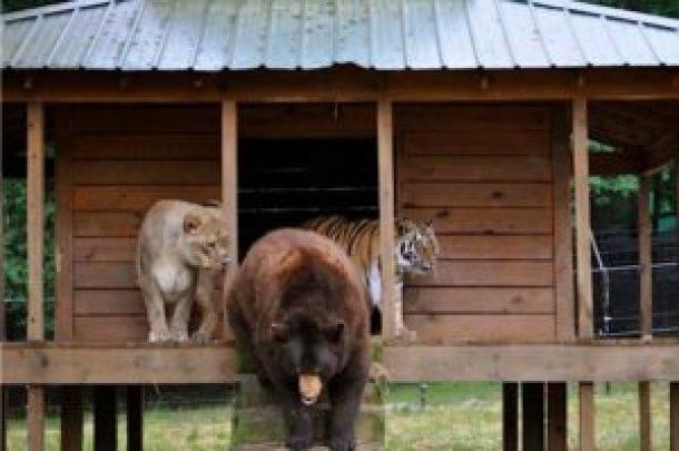 baloo leo and shere khan