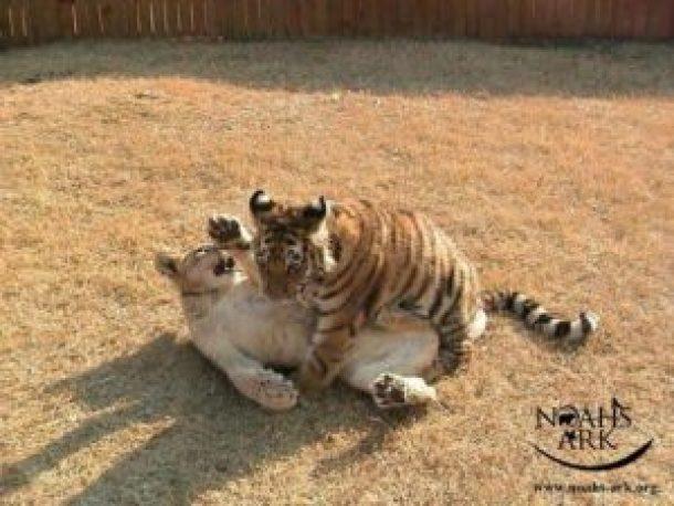 leo and shere khan play
