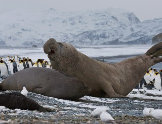 Elephant of the Antarctic The World's Largest Seal