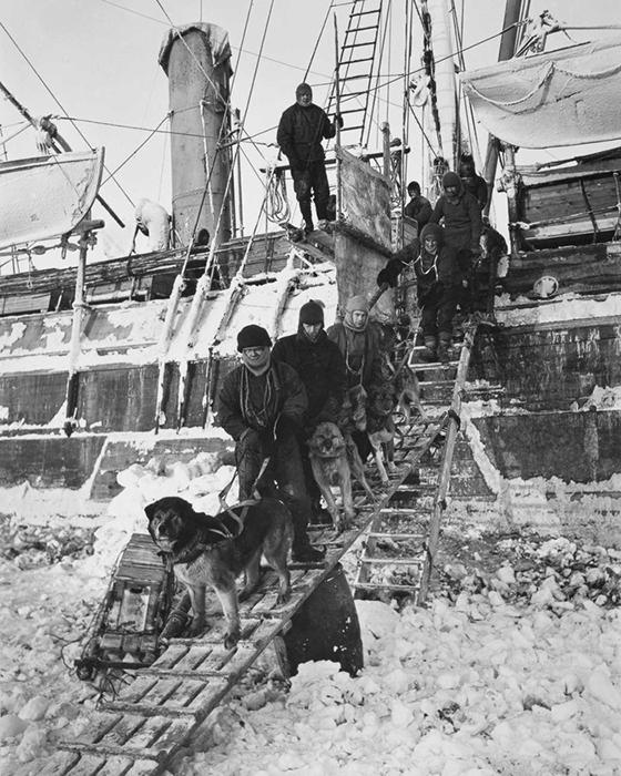 Собак перевозят с судна на лёд.