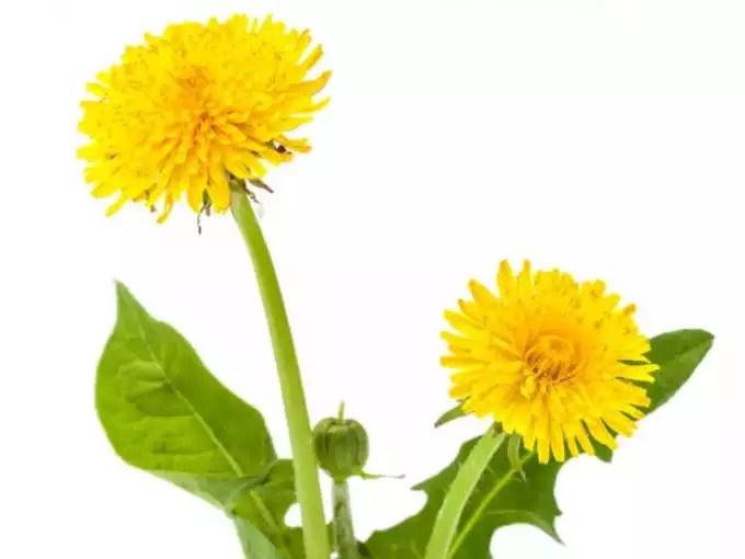 -taraxicum-officinalis