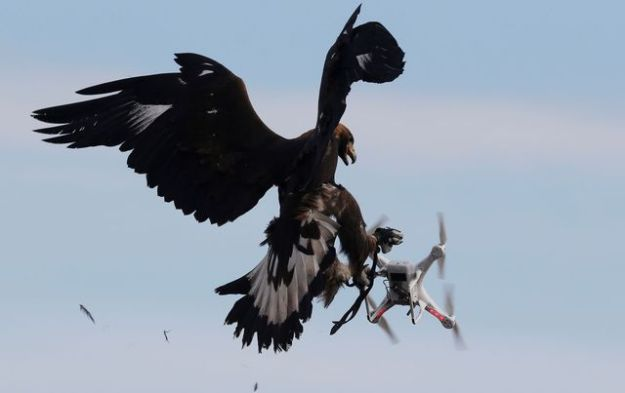 A golden eagle catches a drone during a military exercise near Mont de Marsan French airbase, in southwestern France, on February 10, 2017.