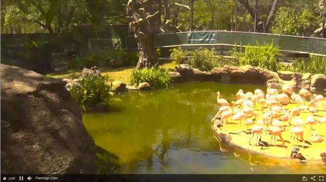 Хьюстон зоопарк фламинго Cam