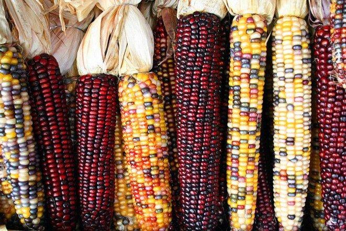 Couleurs (naturelles) d'épis de maïs