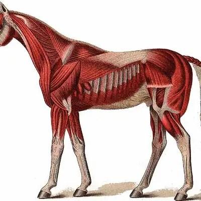 horse muscle and bone diagram carotid artery equine anatomy memrise