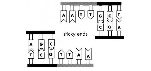 A fun and easy way to remember 'sticky ends' in Biology