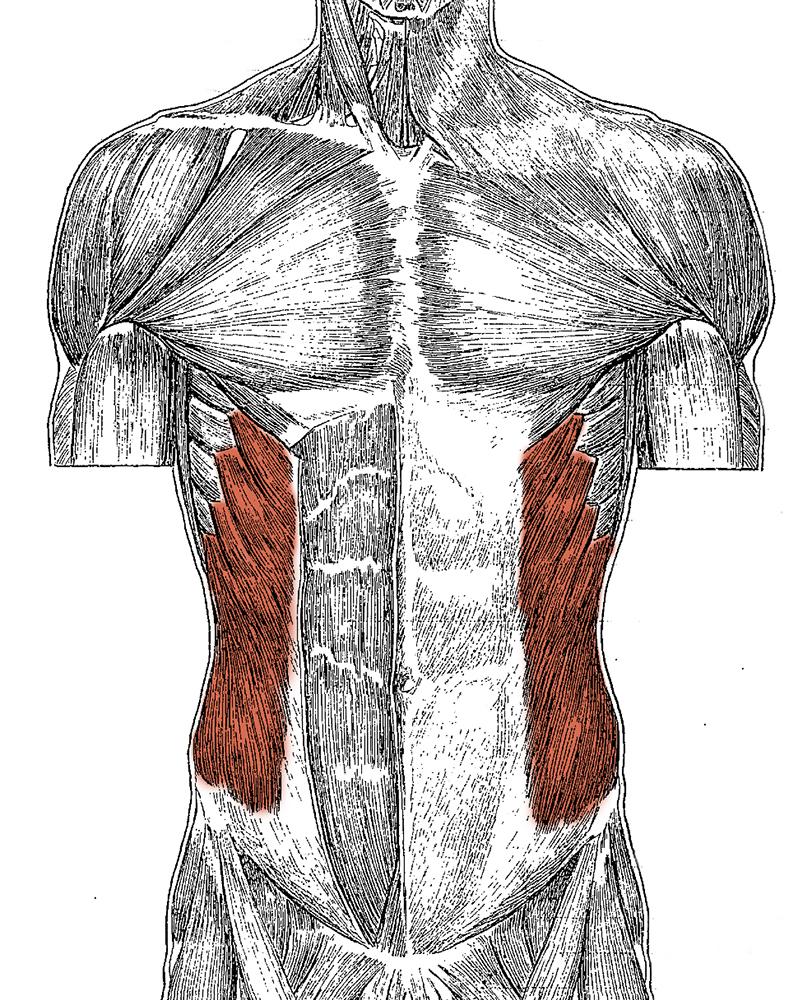 Level 3 - Artistic Anatomy - Memrise