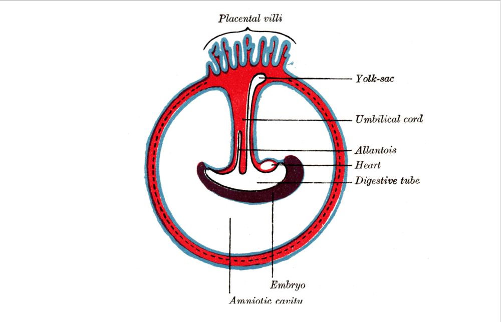 medium resolution of diagram illustrating a later stage in the development of the umbilical cord