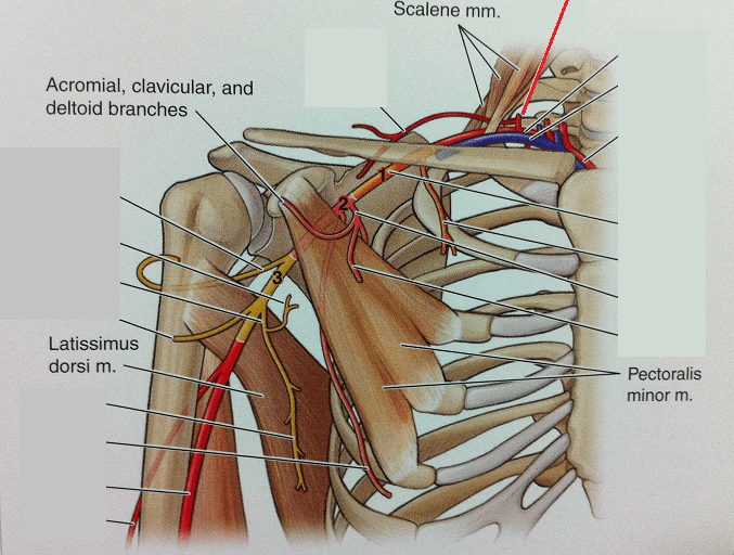 Level 47 - Anatomy of the Extremities - Memrise