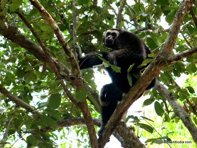 Siem Reap gibbons tour