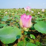 Lotus flowers in lotus field