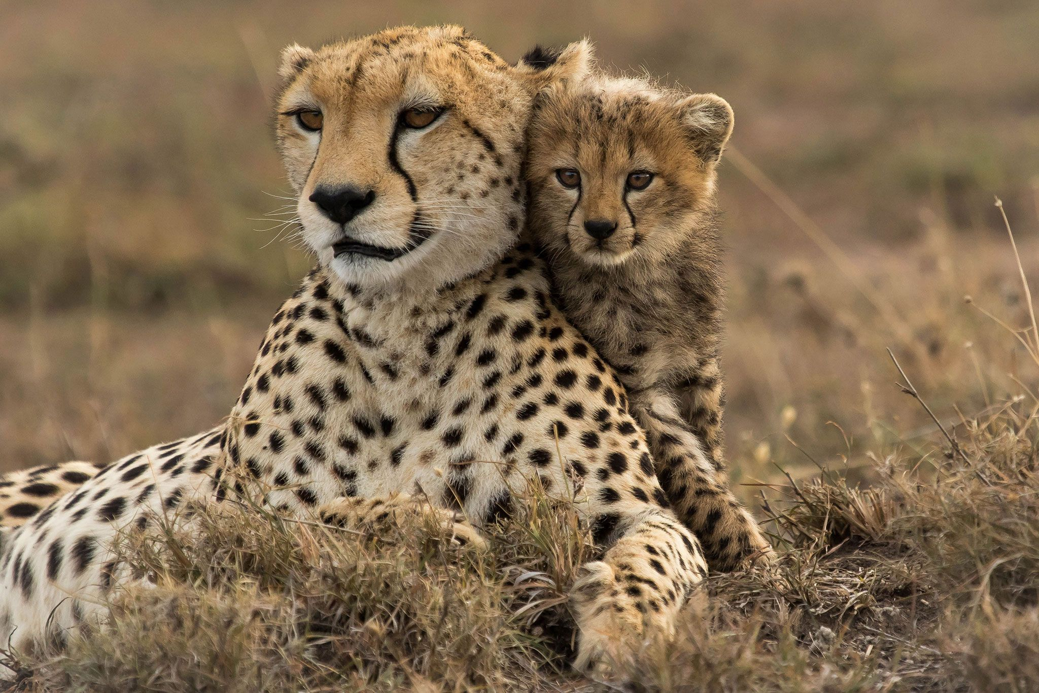 stunning pictures of cheetahs