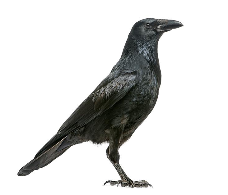 Guitchounts_BR-crow