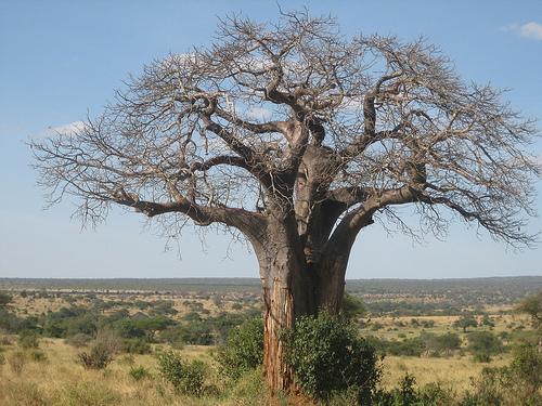 Baobab in Tanzania