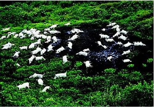 From Neat-o-rama: Grazing cattle killed in the 1986 Lake Nyos disaster (Image Credit: Water Encyclopedia)