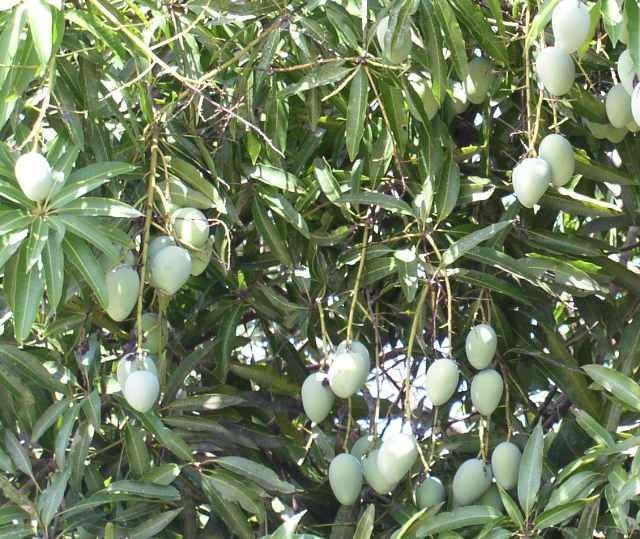File:Black mango unripe.jpg