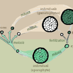 Fern Simple Diagram 1951 Farmall M Wiring Spore - New World Encyclopedia