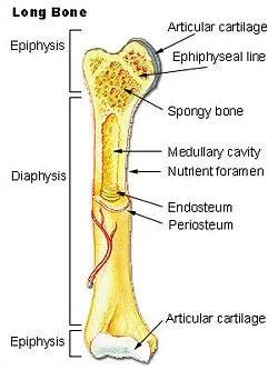 chicken wing bones diagram 12v spotlight relay wiring bone - new world encyclopedia