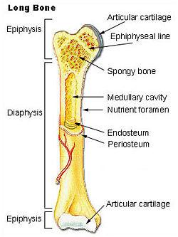 Bone  New World Encyclopedia