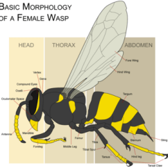 Ant Parts Diagram 2001 Nissan Pathfinder Thermostat Wasp - New World Encyclopedia