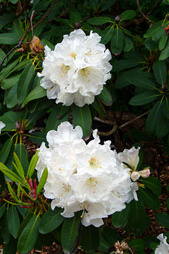 Rhododendron  New World Encyclopedia