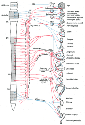 Autonomic nervous system  New World Encyclopedia