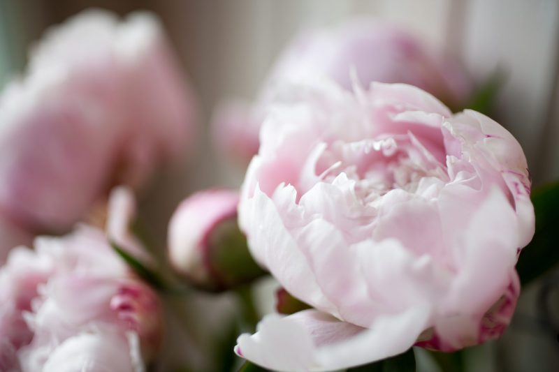 Il significato della peonia, il fiore che sboccia solo due mesi l ...