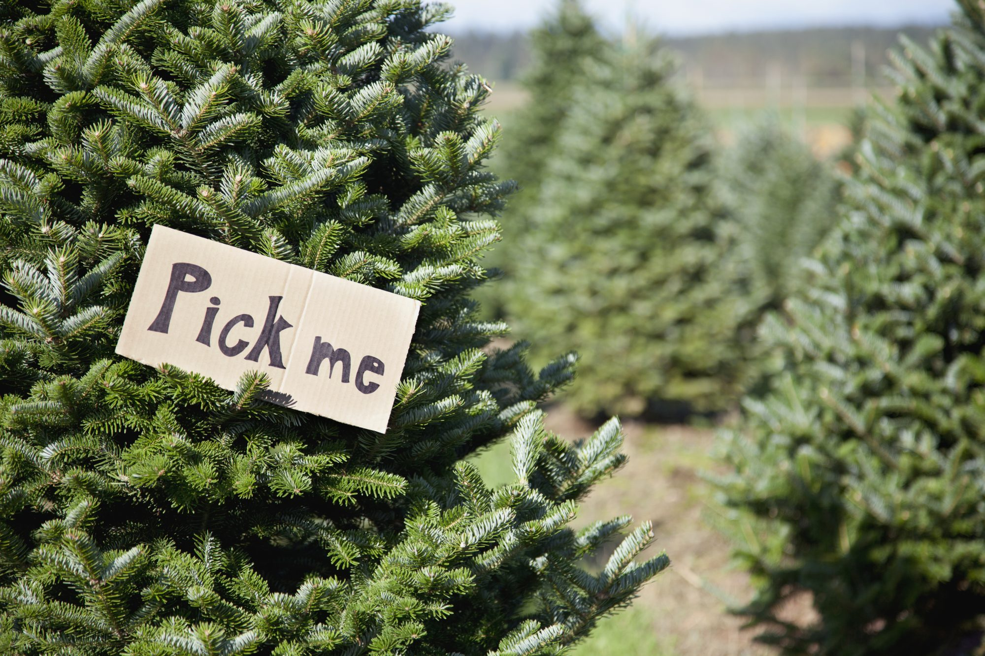 12 Types Of Christmas Trees To Know Before Heading To The Farm Southern Living