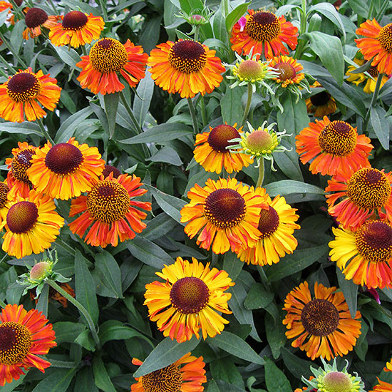 Top New Sun-Loving Perennials for 2014   Better Homes ...