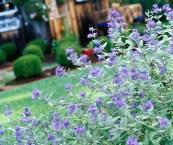 low maintenance flowering shrubs