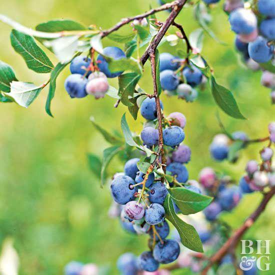 blueberry better homes gardens