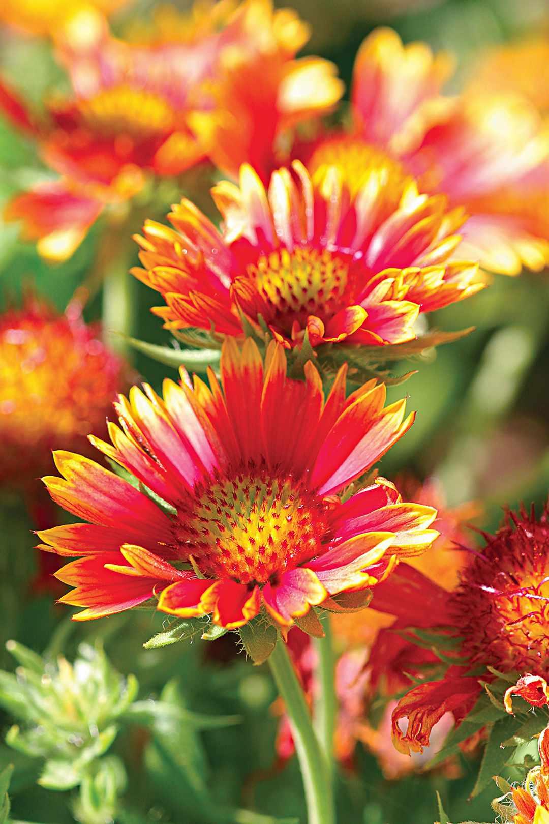 26 amazing perennial varieties