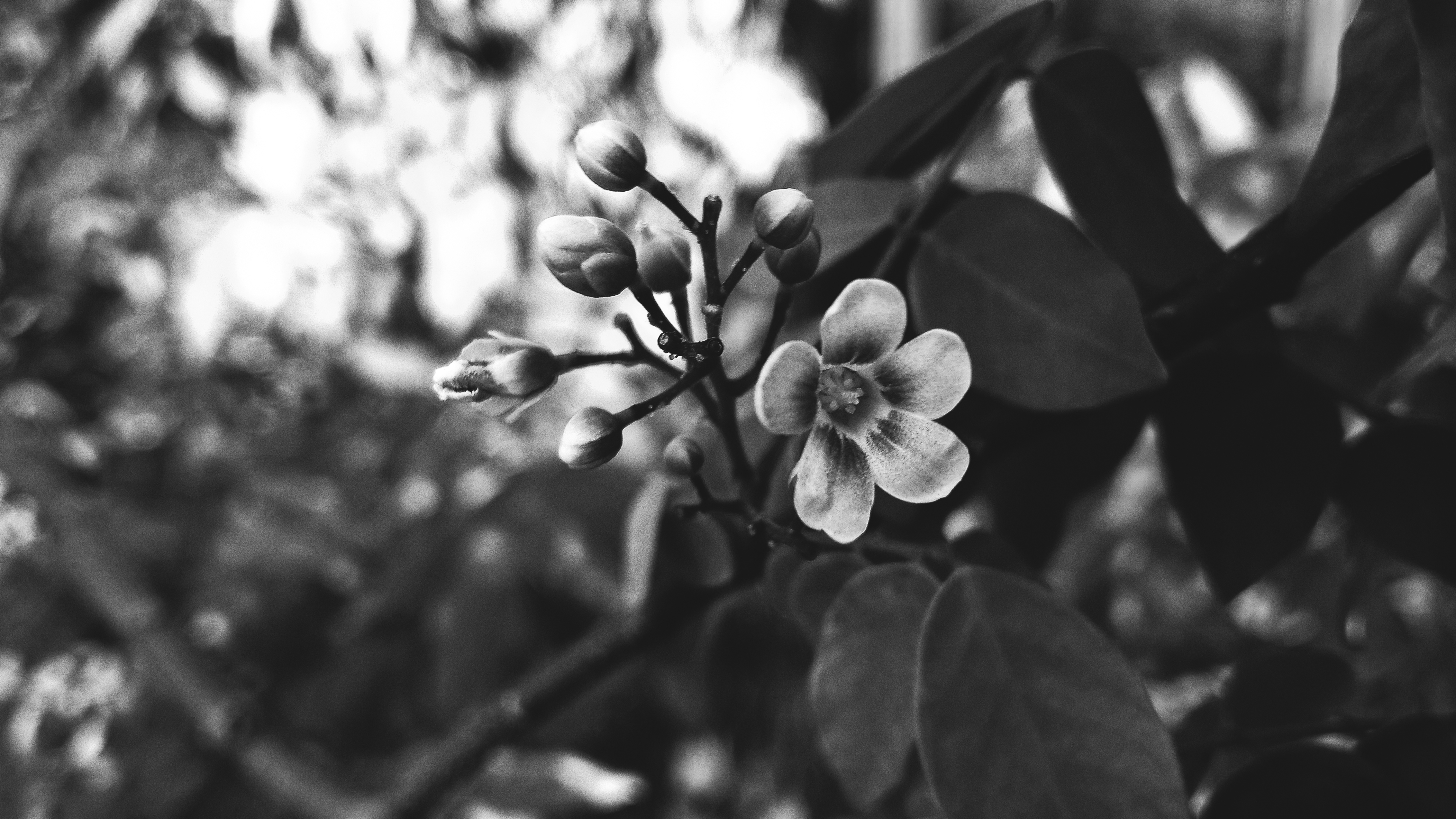 Grayscale Photography Of Flower · Free Stock Photo