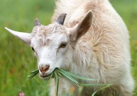 White Goat Eating Grass during Daytime  Free Stock Photo