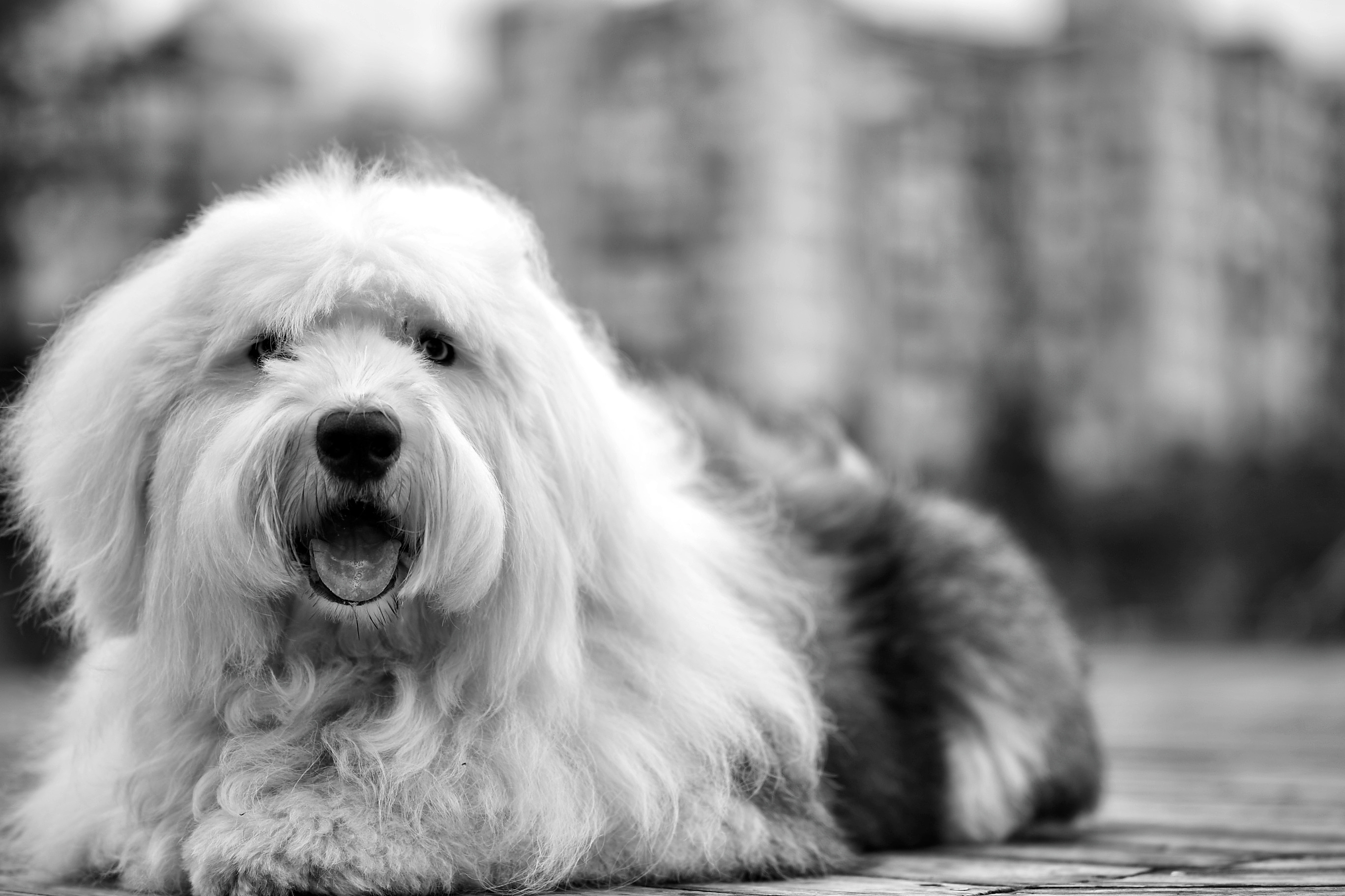 High Definition Animal Wallpapers White Black Old English Sheepdog 183 Free Stock Photo