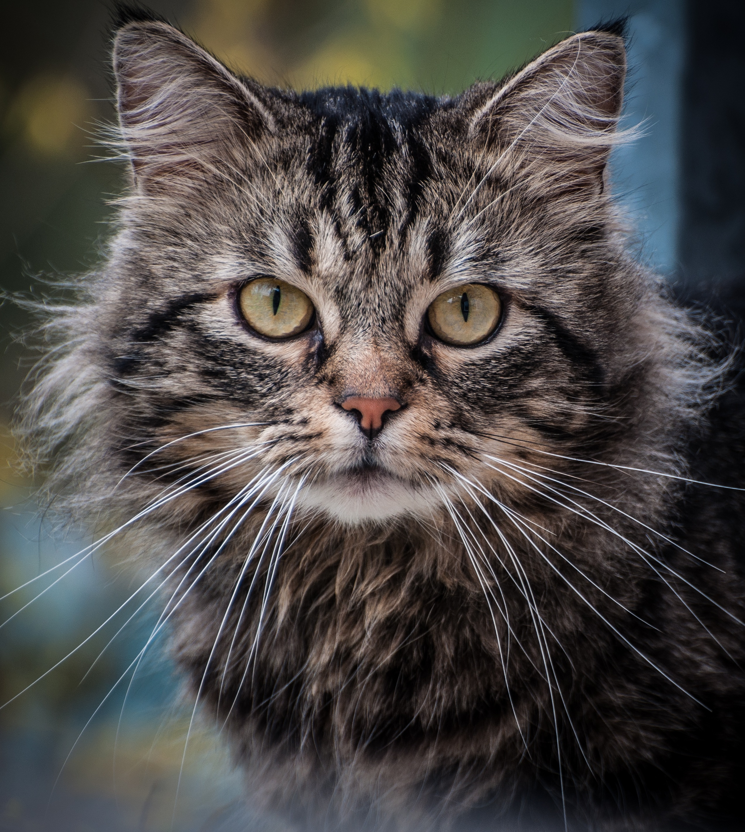 Close Up Photography on Gray Cat  Free Stock Photo