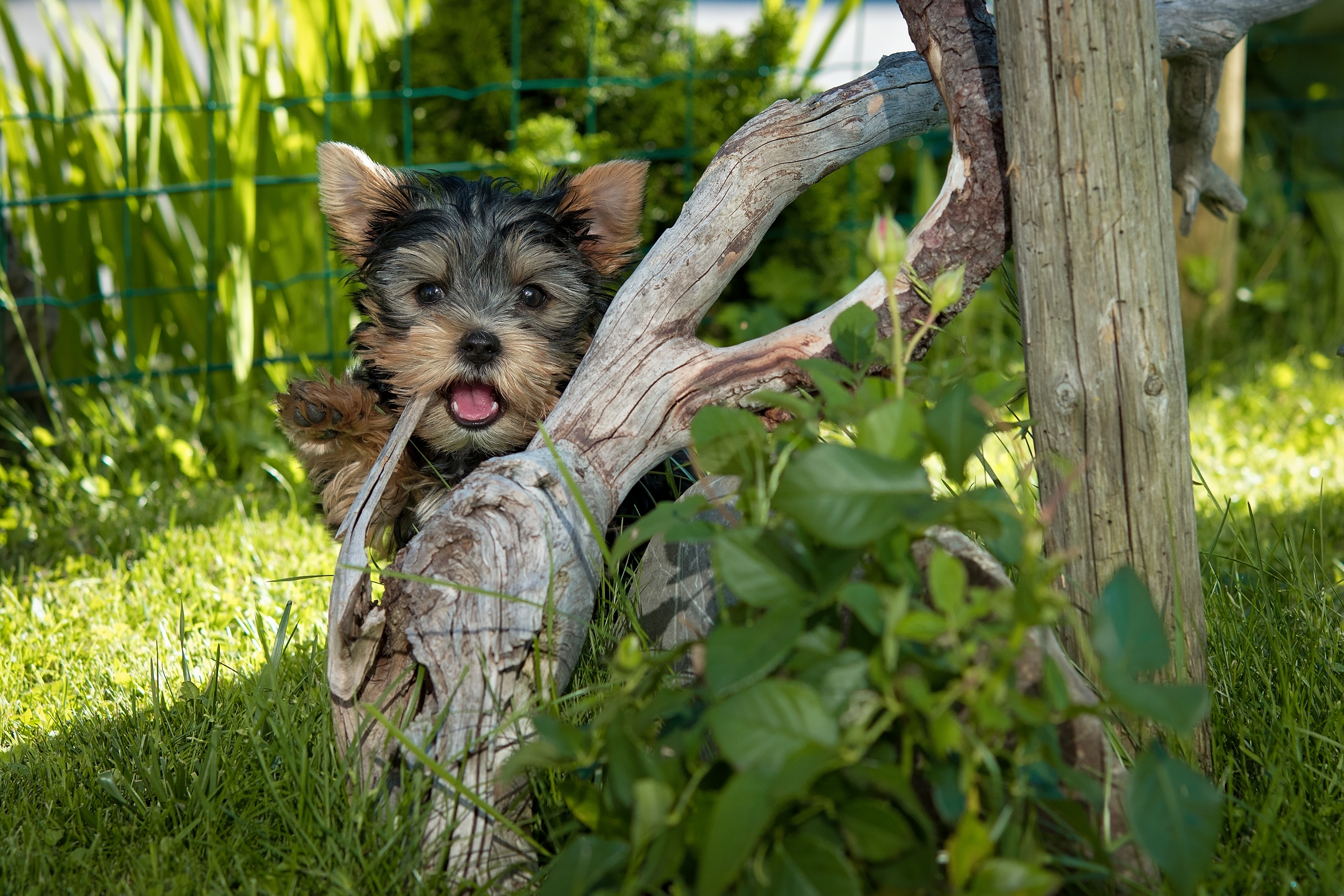 Cute Panda Wallpaper Download Yorkshire Terrier Puppy Hiding Behind Tree Root 183 Free