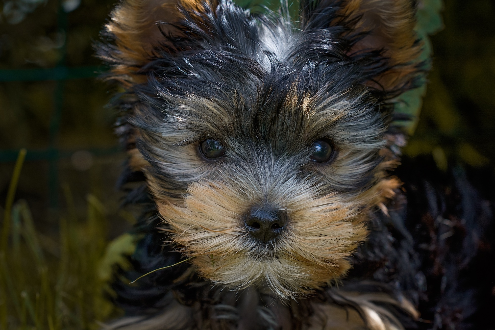 Cute Yorkshire Terrier Puppies Wallpaper Black And Tan Yorkshire Terrier Puppy Closeup Photography