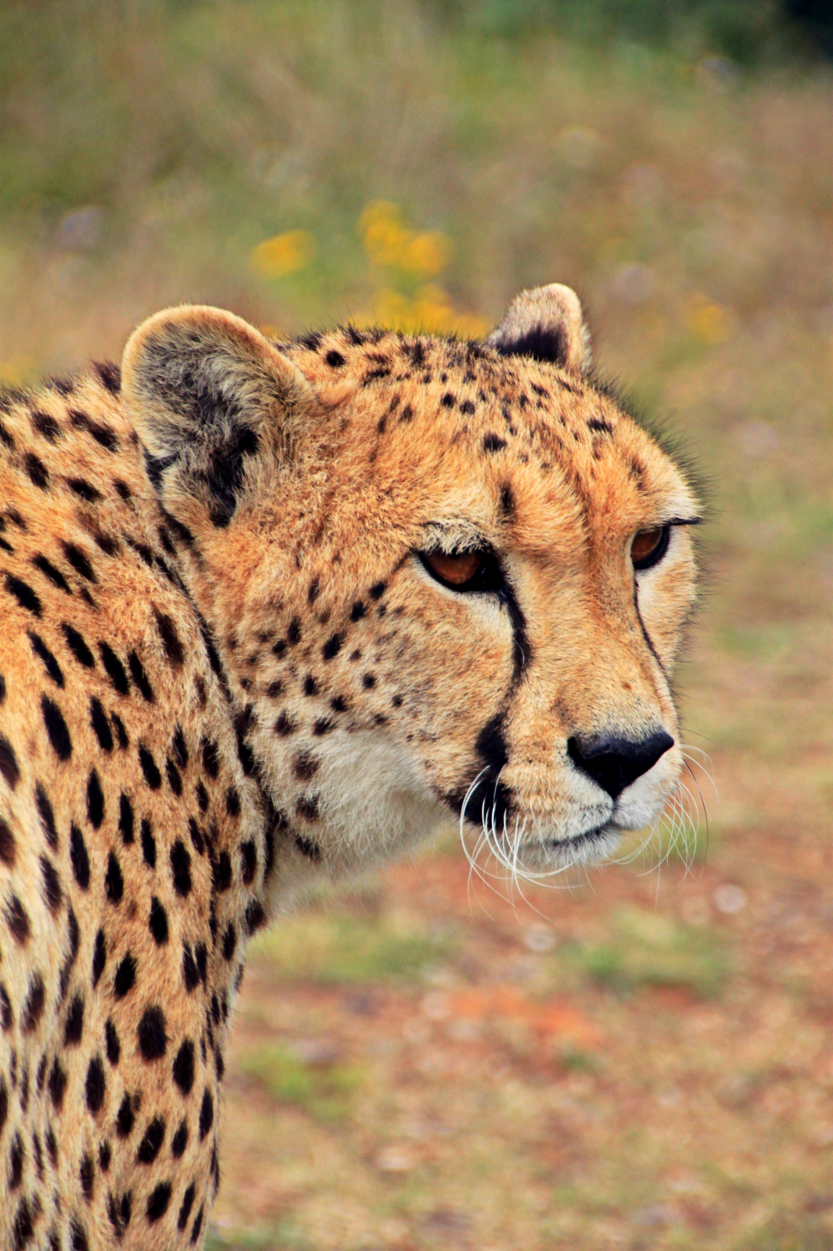 Jaguar Animal Wallpaper Cheetah Against Blurred Background 183 Free Stock Photo