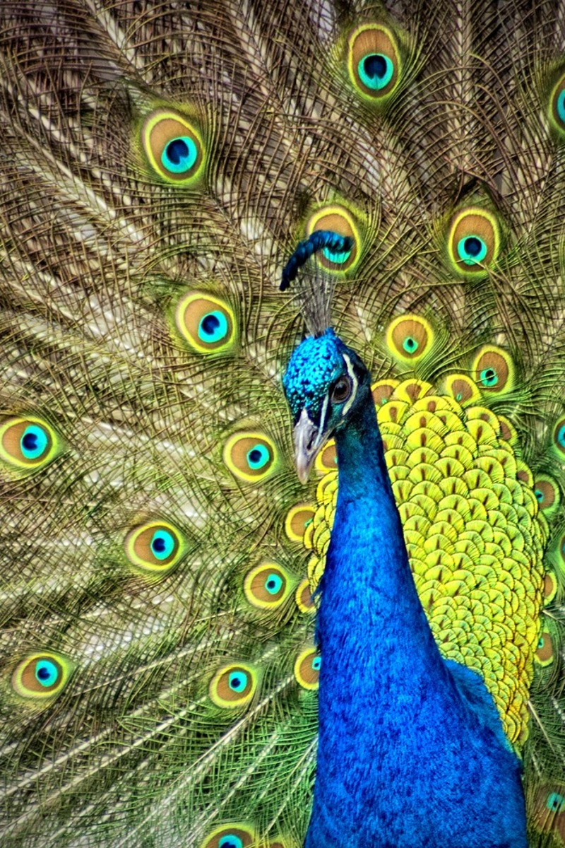 Animal Wallpaper Blue And Green Peacock 183 Free Stock Photo