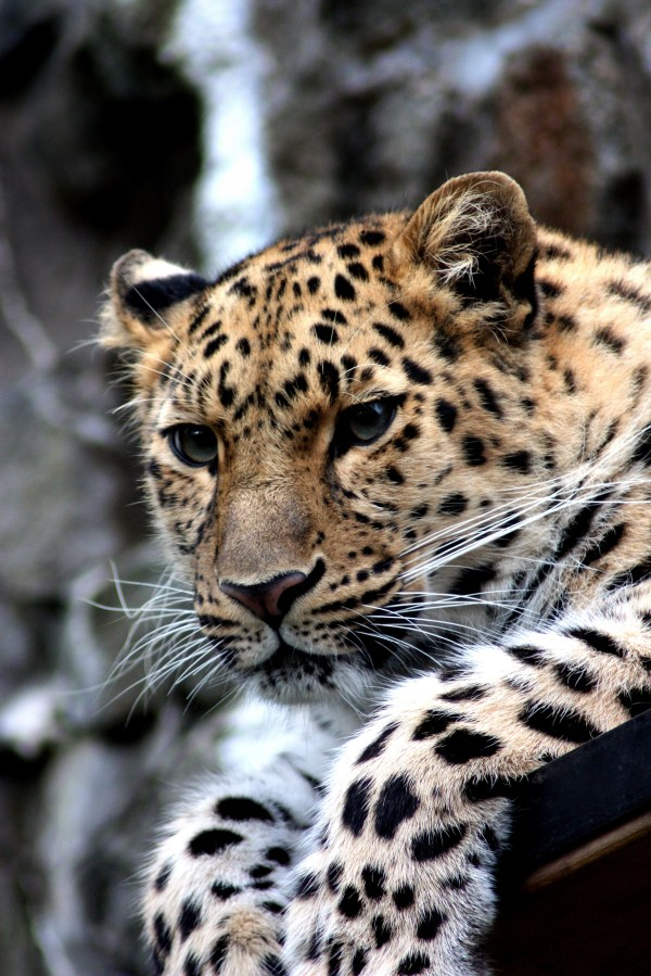 Focus Of Black And Brown Leopard Sitting