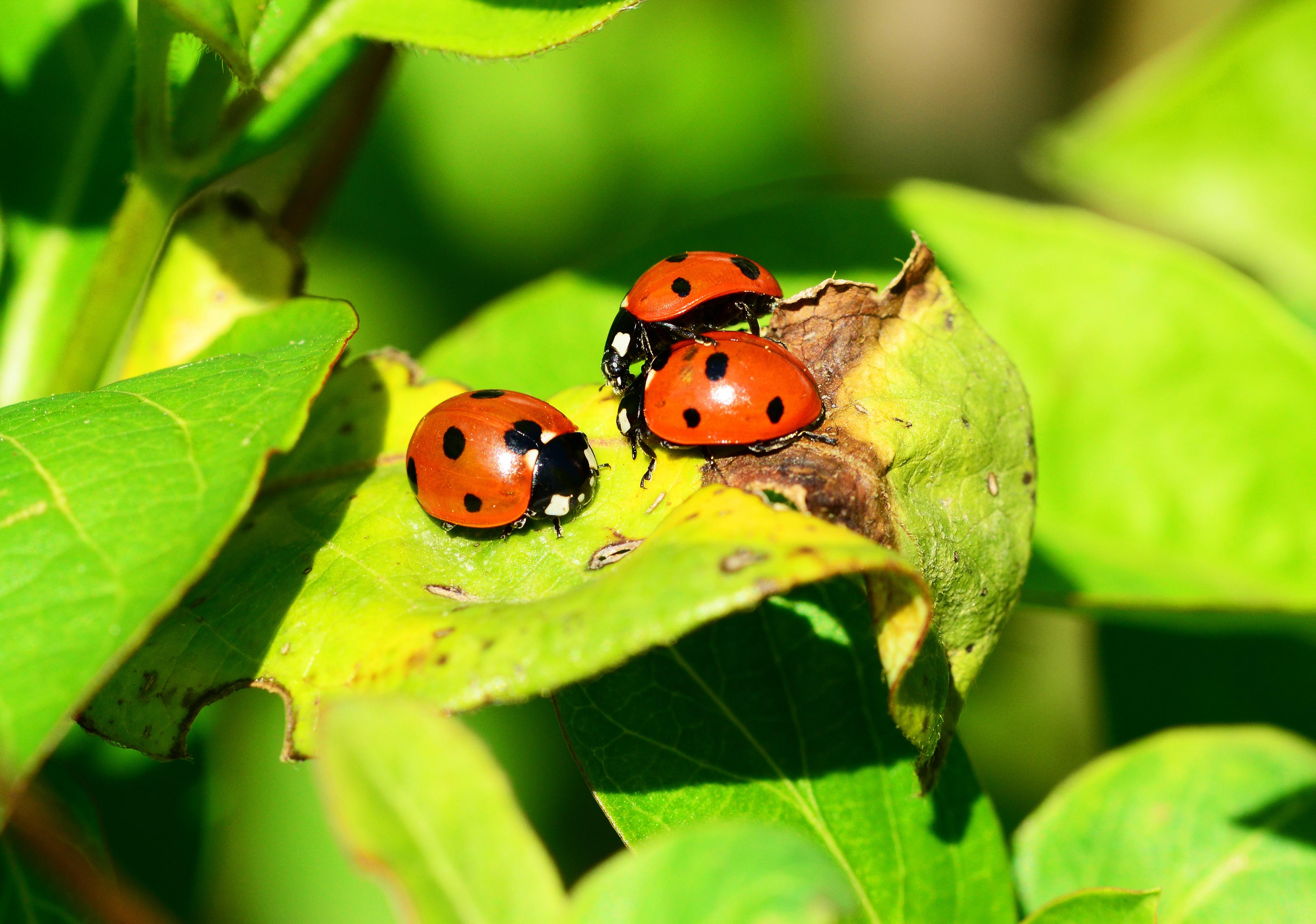 Red Ladybug On Green Leaf Free Stock Photo