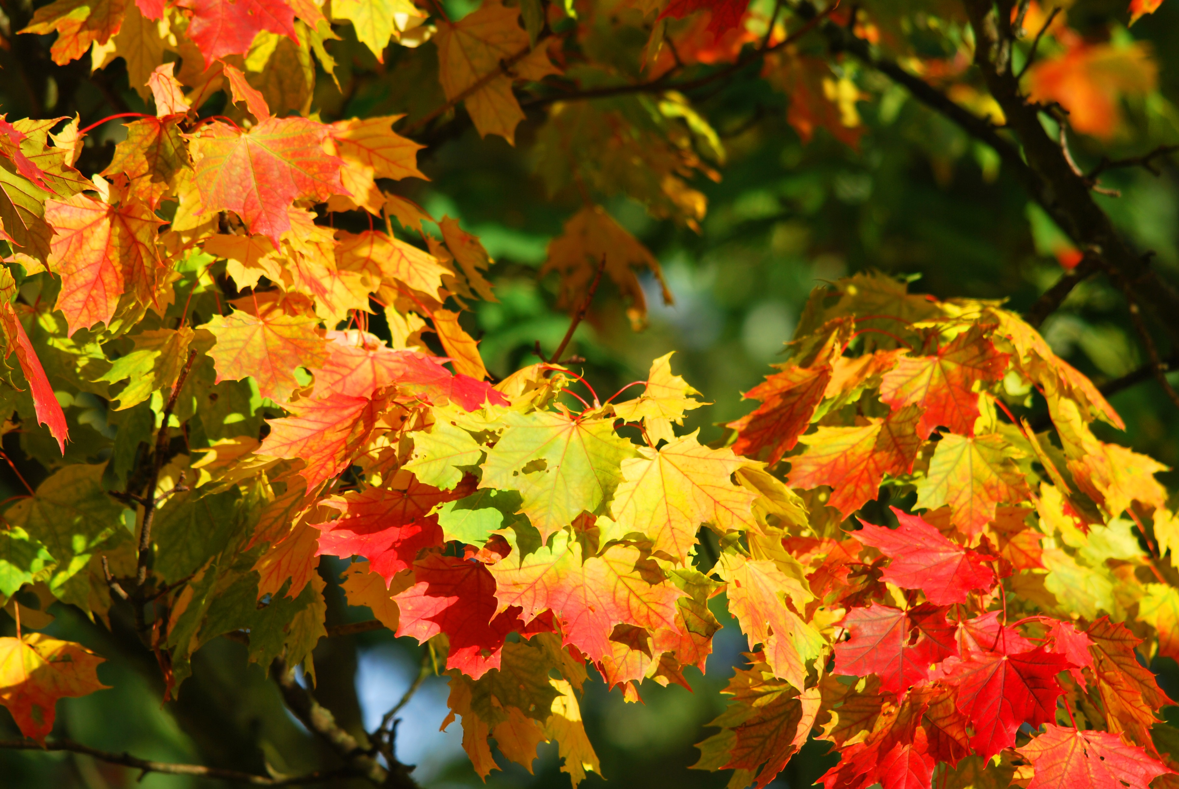Yellow And Red Leaf Trees Free Stock Photo