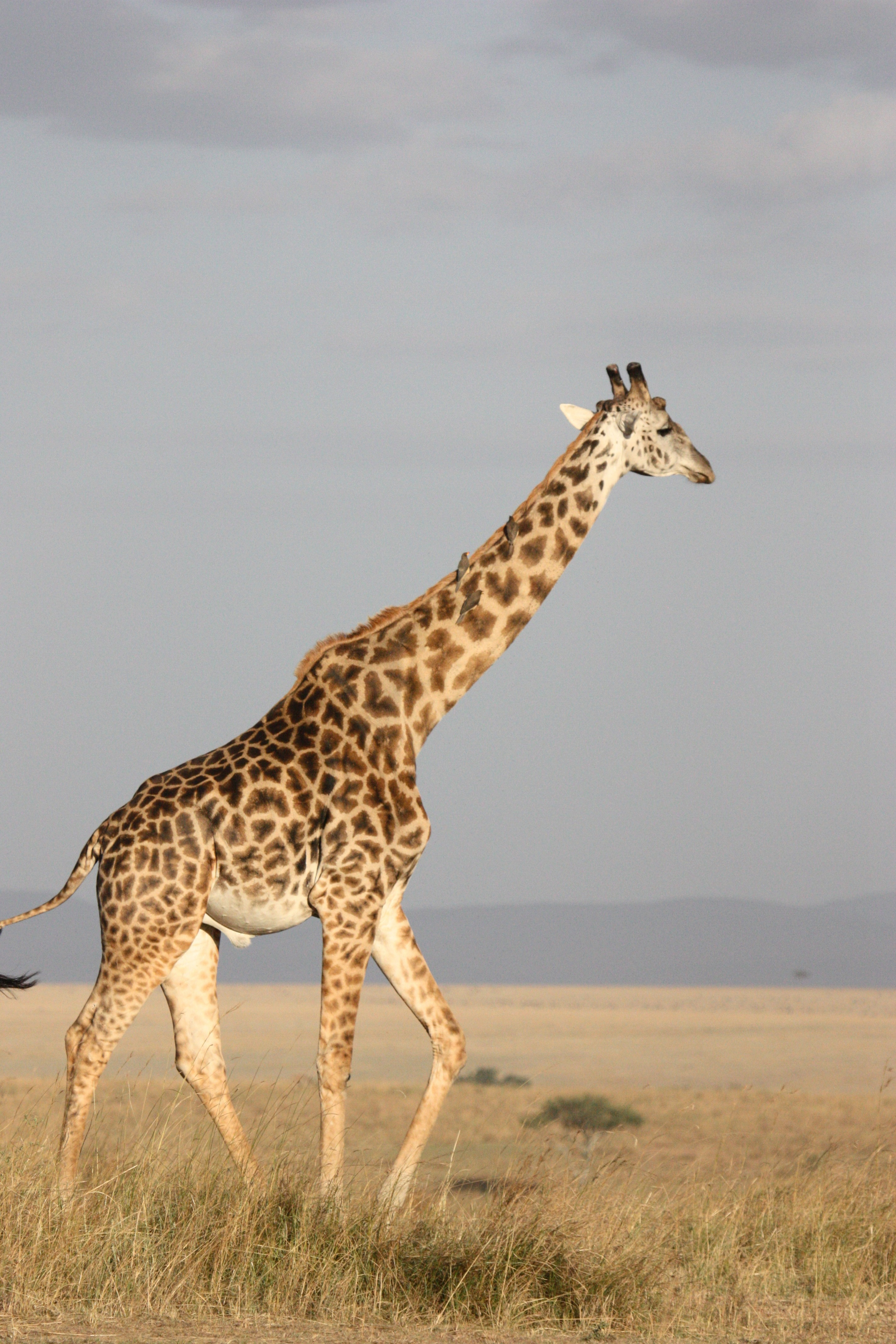 Cute Small Animals Wallpapers Brown Giraffe Walking On Brown Grass 183 Free Stock Photo