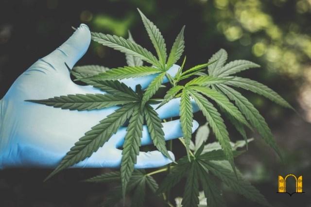 Policjant uprawiał marihuanę. Jest akt oskarżenia